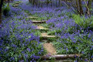 Around Pekes: Bluebells in the Spring